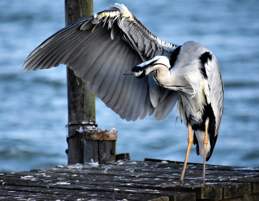 Bokkomlaan-Heron-On-Jetty-Conrad
